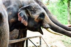 Elefant som är thai, royaltyfri foto