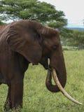 Elefant som äter 1 Arkivfoto