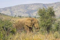 Elefant som äter från ett litet träd royaltyfria foton