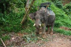 Elefant som äter gräs i regnskogen av den Khao Sok fristaden, Thailand Royaltyfria Bilder