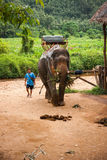 Elefant som äter gräs och hans mahout i regnskogen av den Khao Sok fristaden, Thailand Royaltyfri Bild