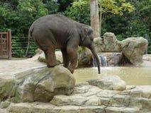 Elefant som balanserar och dricker Royaltyfria Bilder