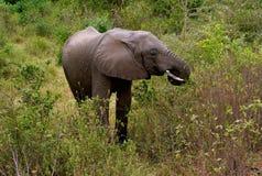 Elefant som betar i den sjöManyara nationalparken royaltyfria bilder
