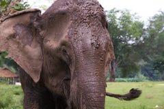 Elefant som betar i fält Royaltyfria Foton