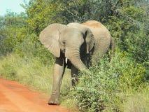 Elefant som bryter till och med buskarna royaltyfri foto