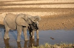 Elefant som dricker, med betet som krullas in i mun Royaltyfria Bilder