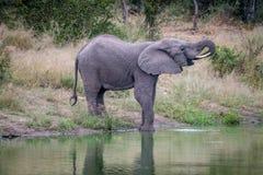 Elefant som dricker på en vattenfördämning royaltyfri foto