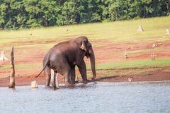 Elefant som får ut ur vatten Arkivbild