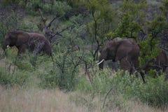 Elefant som följer gruppen arkivfoto