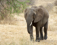 Elefant som går frontview Arkivfoton
