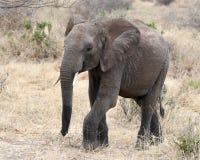 Elefant som går frontview Arkivbild