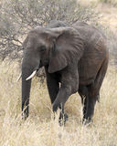 Elefant som går frontview Royaltyfri Fotografi