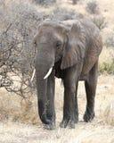 Elefant som går frontview Royaltyfria Bilder