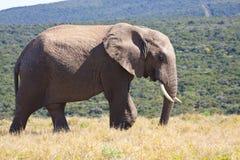 Elefant som går i busken Royaltyfria Foton