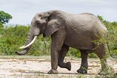 Elefant som går till och med en torr lapp som gränsas av gröna buskar arkivfoto