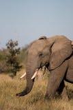 Elefant som går till och med ett fält i den Kruger nationalparken Arkivbilder