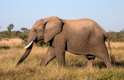 Elefant som går till och med ett fält i den Kruger nationalparken Royaltyfria Foton