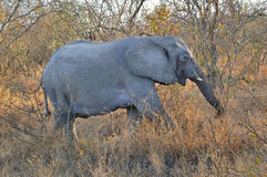Elefant som går trädträdsavannahen Arkivfoton