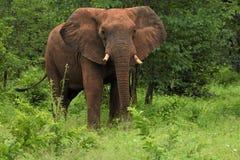 Elefant som gör ett meddelande arkivfoto