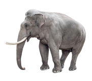 Elefant som isoleras på vit Arkivbilder