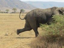 Elefant som kör av kamera Royaltyfri Bild