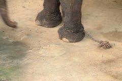 Elefant som kedjas fast på benet Arkivfoton