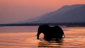 Elefant som korsar Zambeziet River på solnedgången i rosa färger zambia Royaltyfri Bild