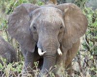 Elefant som matar closeupen för främre sikt Royaltyfri Bild