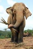 Elefant som matar och ser in i kameran Arkivfoton