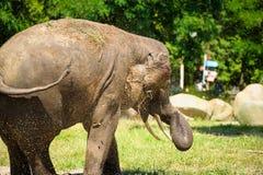 Elefant som plaskar med vatten Royaltyfri Bild