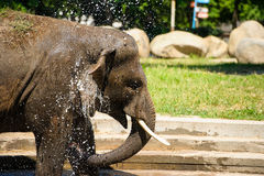 Elefant som plaskar med vatten Royaltyfria Bilder