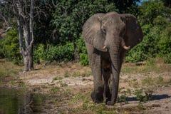 Elefant som promenerar skogsbevuxen shoreline in mot kamera Arkivfoton