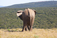 Elefant som ser in i avstånd arkivbild