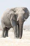 Elefant som ser in mot Arkivfoton