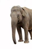 Elefant som ser till höger sida fotografering för bildbyråer