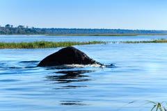 Elefant som simmar den Chobe floden Botswana Afrika Royaltyfri Bild