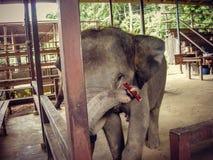 Elefant som spelar en munspel i en penna i Thailand royaltyfri foto