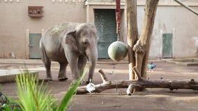 Elefant som spelar i en zoo stock video