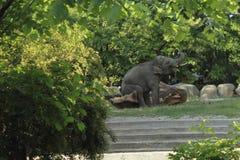 Elefant som spelar med ett träd Royaltyfria Foton