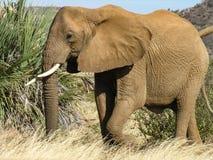 Elefant som strosar till och med Samburu grässlättar arkivbilder