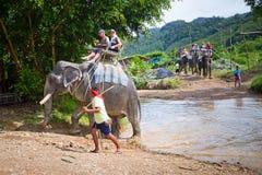 Elefant som trekking i den Khao Sok nationalparken Royaltyfria Bilder