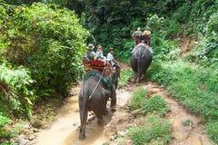 Elefant som trekking i den Khao Sok nationalparken Royaltyfria Foton