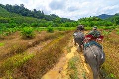 Elefant som trekking i den Khao Sok nationalparken Arkivfoto