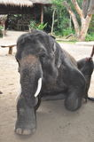 Elefant som trekking i Thailand Arkivfoton
