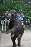 Elefant som trekking i Thailand Arkivfoto