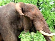 Elefant som tuggar gräs Royaltyfria Bilder