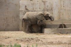 Elefant som tycker om rengöringen, kallt vatten Fotografering för Bildbyråer