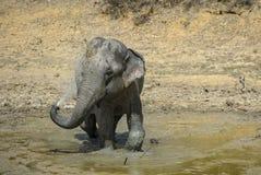 Elefant Sri Lankan - Elephas maximus maximus, Sri Lanka Lizenzfreie Stockfotos