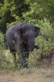 Elefant Sri Lankan - Elephas maximus maximus, Sri Lanka Stockfotografie
