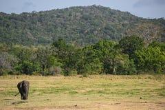 Elefant Sri Lankan - Elephas maximus maximus, Sri Lanka Lizenzfreie Stockfotografie